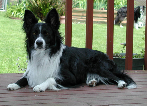 June 19, 2004 Fable earns U-CD with all first places, High in Trial, HS Herding Dog and High Aggregate
